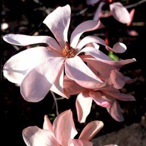 Galaxy rosarød i forårsmånederne