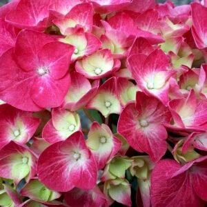 Hortensia Bella skab blikfang med rosa blomster