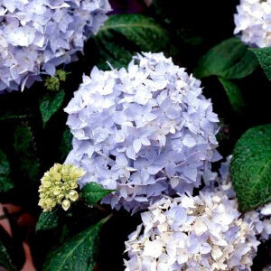 Hortensia Clara gør haven personlig med blå blomster