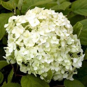 Hortensia Incrediball mellemstor plante med cremegule blomster