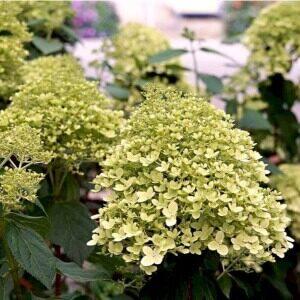 Hortensia Limelight stor plante med flot farvespil
