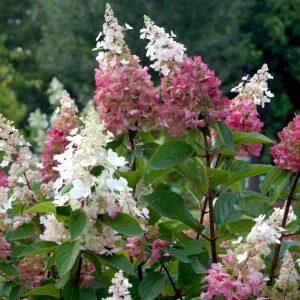 Hortensia Pinky-Winky lyser op i en romantisk have