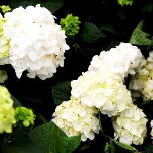 Hortensia The Bride romantisk og tidløst udtryk