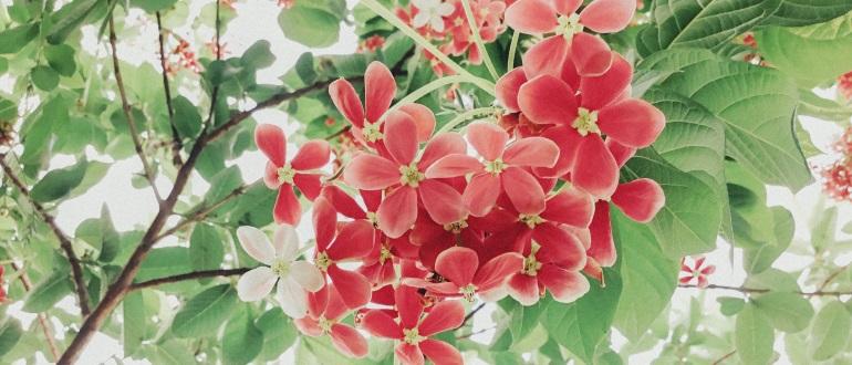 Kaprifolie 7 stedsegrønne slyngplanter som pynter i din have