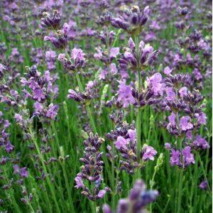 Lavendel Dwarf Blue til det lille og kompakte lavendelbed