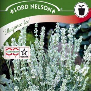 Lavendel Ellagance Ice perfekt til blomsterdekorationer