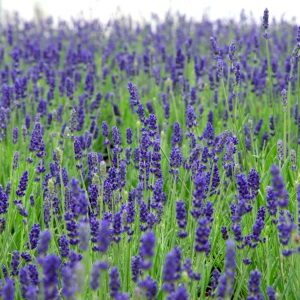 Lavendel Hidcote Blue særligt hårdfør plante