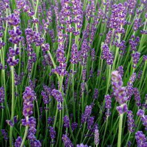 Lavendel Munstead bierne vil elske den