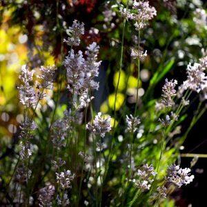 Lavendel Rosea velduftende lyserøde blomster