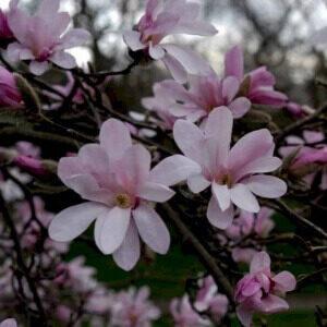 Leonard Messel purpurlilla blomster i april og maj