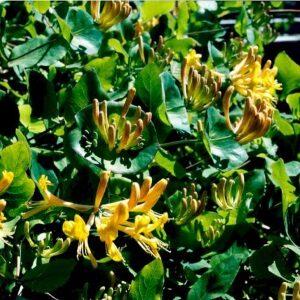 Lonicera caprifolium kraftigt duftende orangegule blomster