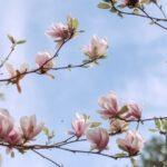 Magnolia smukke, farvestrålende blomster til haven