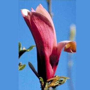 Nigra rød Magnolia med duftende blomster