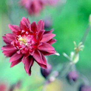 Ruby Port flotte, høje blomster, der står frem