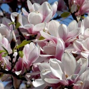 Tulipantræ almindelig magnolia træ