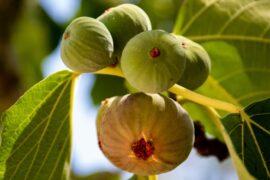 Dyrk dit eget figentræ her er de bedste til din have