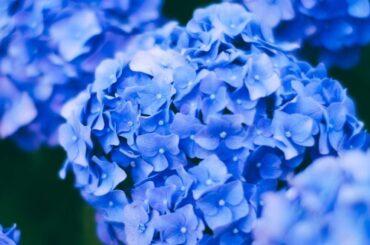 Inspiration Her finder du 8 smukke hortensiaer til haven