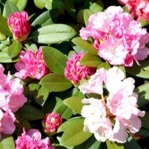 Doc Rhododendron store lyserøde blomster