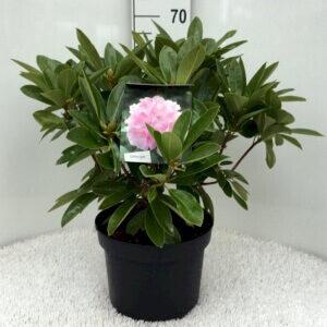 Rhododendron Albert Schweitzer Hårdfør under danske forhold