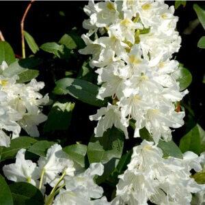 Rhododendron Cunningham's White Ideel baggrundsplante i surbundsbedet