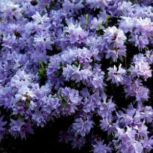 Rhododendron Luisella – elsker sol