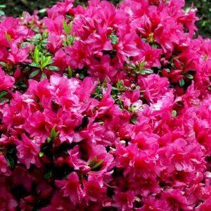 Rhododendron Melina flotte lyserøde blomster
