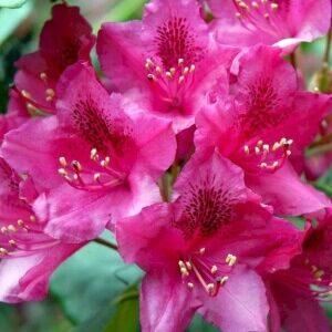 Rhododendron Nova Zembla Kraftigt voksende plante