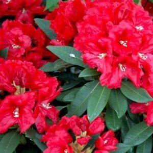 Rhododendron Rabatz distinktive med røde blomster