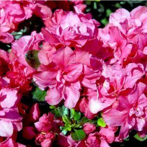 Rhododendron Rokoko prisvenlig dværgvariant