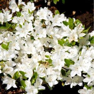 Rhododendron Schneeperle dværgrhododendron med dejlig duft
