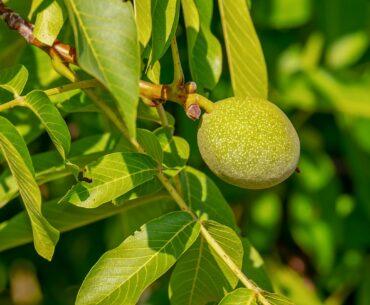 Valnøddetræ