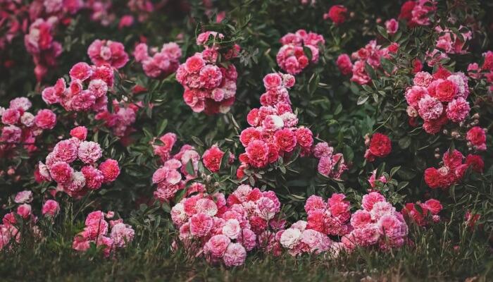 Vælg de perfekte rhododendroner til havebedet